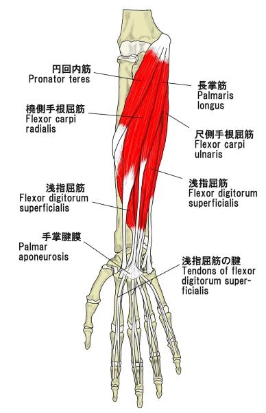 前腕筋肉部位名称